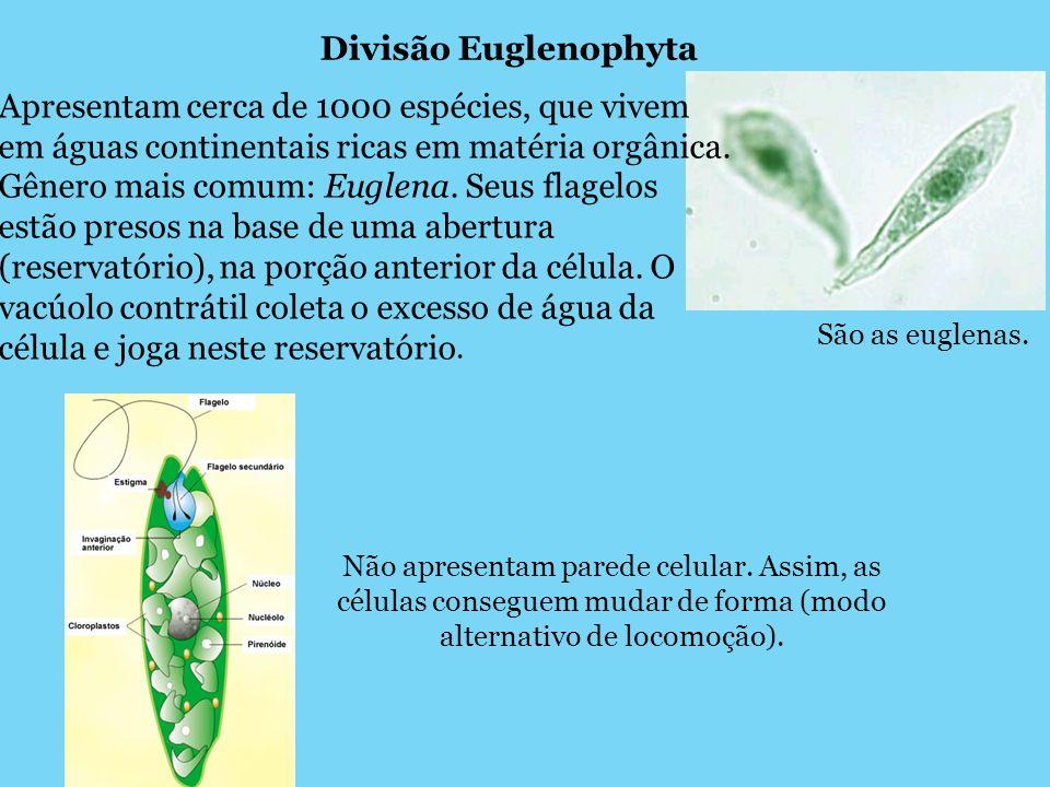 Divisão Euglenophyta Apresentam cerca de 1000 espécies, que vivem em águas continentais ricas em matéria orgânica.