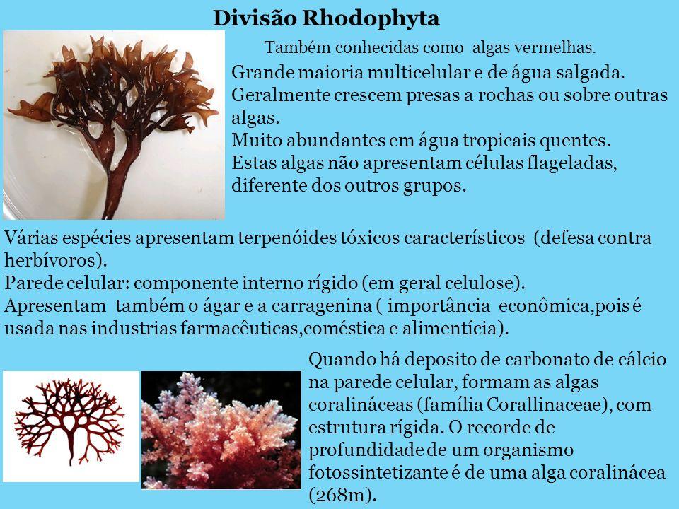 Também conhecidas como algas vermelhas.