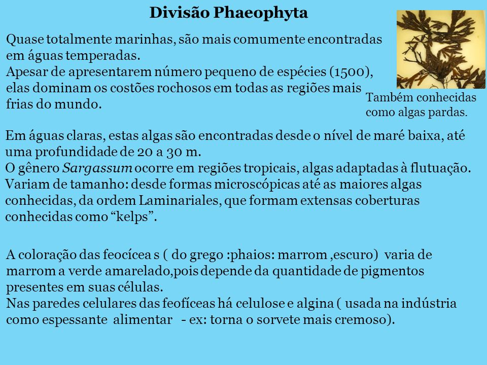 Divisão Phaeophyta Quase totalmente marinhas, são mais comumente encontradas em águas temperadas.