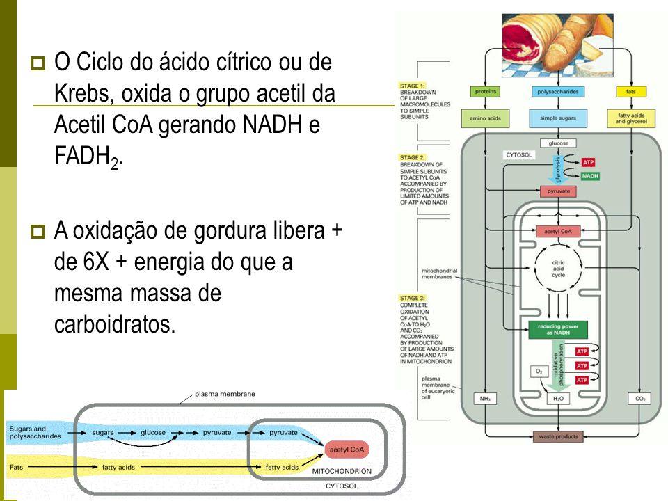 O Ciclo do ácido cítrico ou de Krebs, oxida o grupo acetil da Acetil CoA gerando NADH e FADH2.