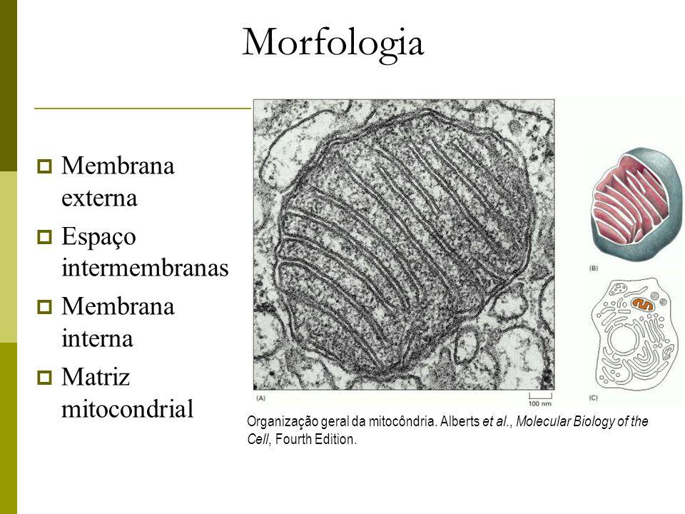 Morfologia Membrana externa Espaço intermembranas Membrana interna