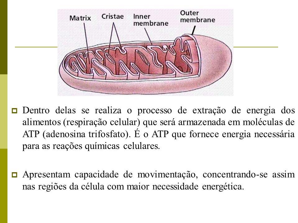 Dentro delas se realiza o processo de extração de energia dos alimentos (respiração celular) que será armazenada em moléculas de ATP (adenosina trifosfato). É o ATP que fornece energia necessária para as reações químicas celulares.
