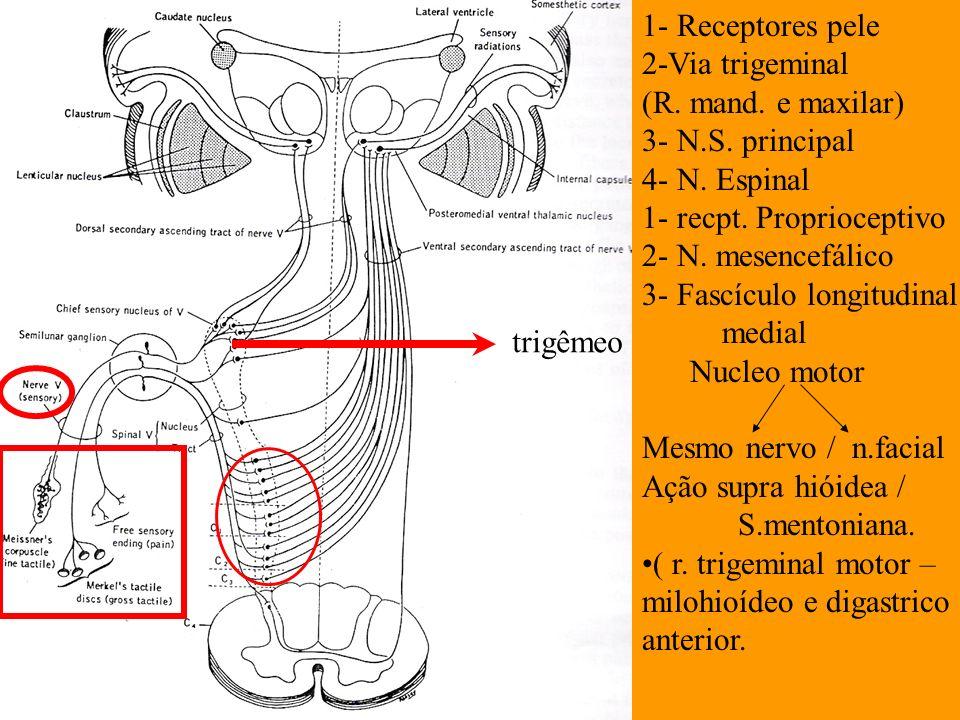 1- Receptores pele 2-Via trigeminal. (R. mand. e maxilar) 3- N.S. principal. 4- N. Espinal. 1- recpt. Proprioceptivo.