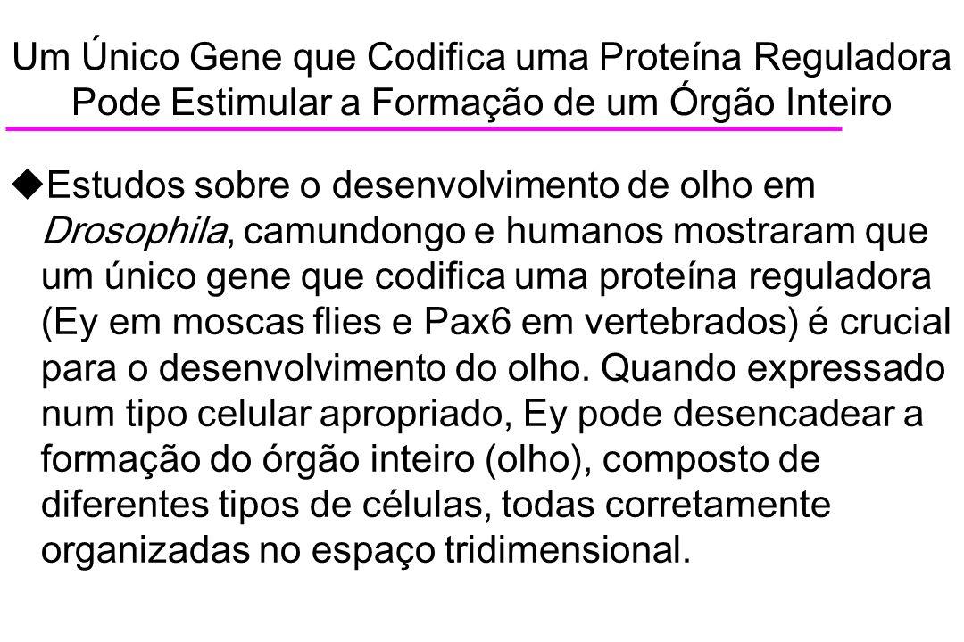 Um Único Gene que Codifica uma Proteína Reguladora Pode Estimular a Formação de um Órgão Inteiro