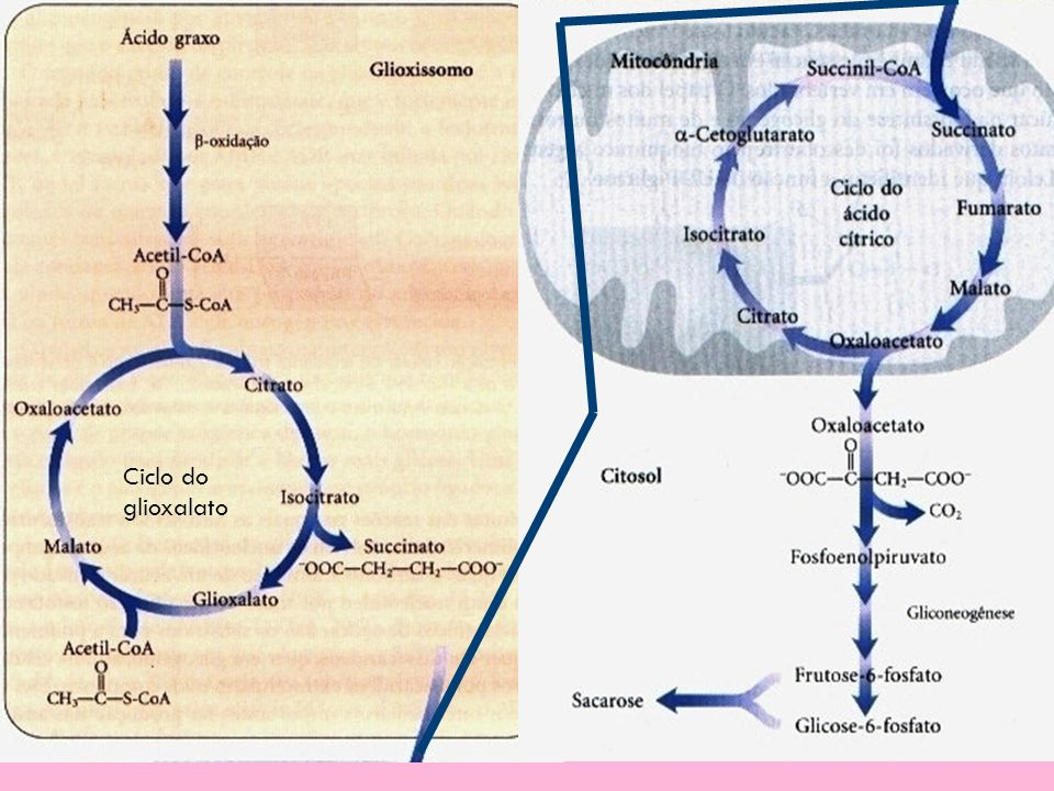 Ciclo do glioxalato