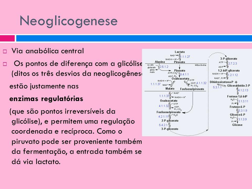 Neoglicogenese Via anabólica central