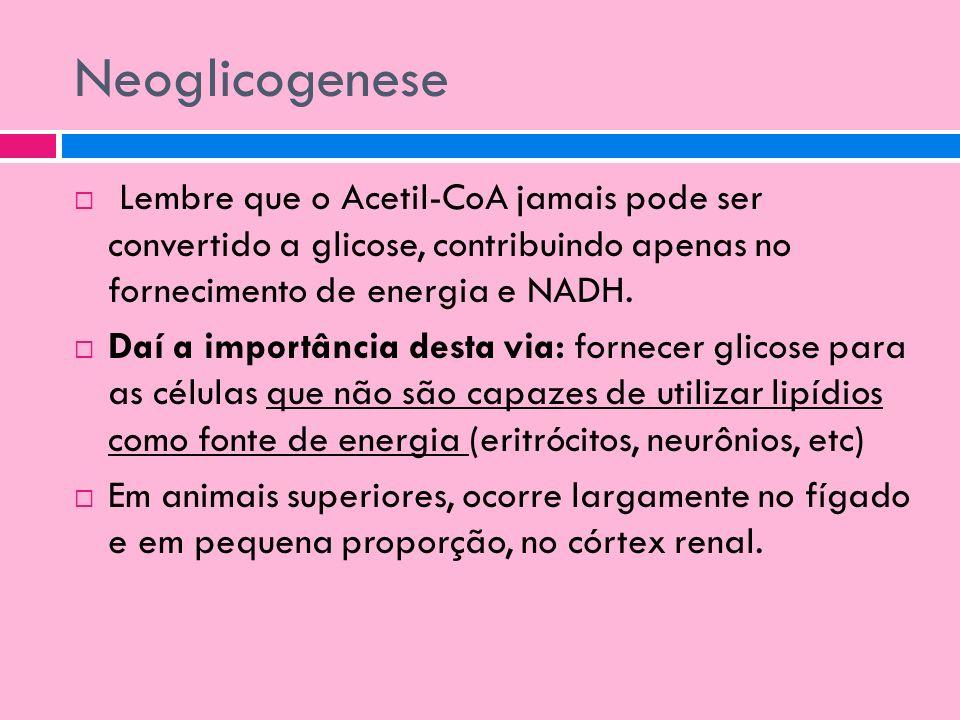 Neoglicogenese Lembre que o Acetil-CoA jamais pode ser convertido a glicose, contribuindo apenas no fornecimento de energia e NADH.