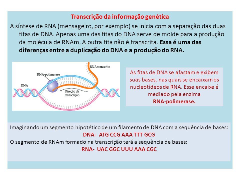 Transcrição da informação genética A síntese de RNA (mensageiro, por exemplo) se inicia com a separação das duas fitas de DNA. Apenas uma das fitas do DNA serve de molde para a produção da molécula de RNAm. A outra fita não é transcrita. Essa é uma das diferenças entre a duplicação do DNA e a produção do RNA.