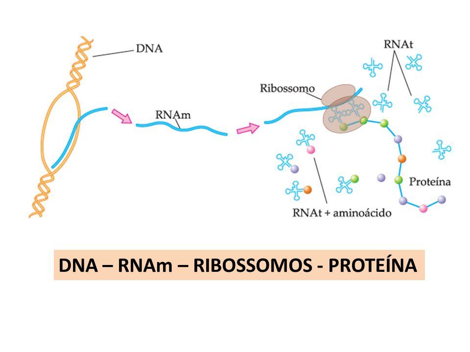 DNA – RNAm – RIBOSSOMOS - PROTEÍNA
