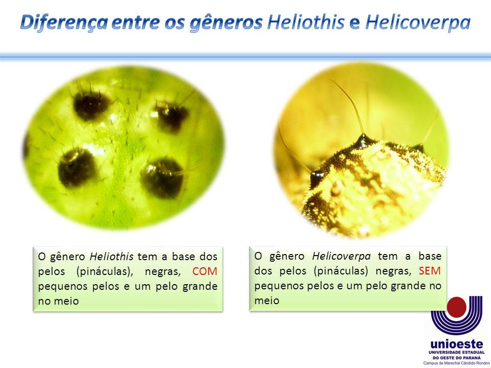 Diferença entre os gêneros Heliothis e Helicoverpa