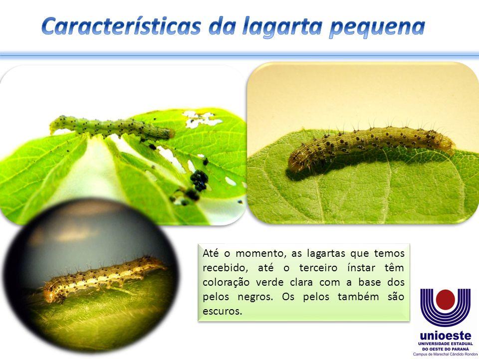 Características da lagarta pequena