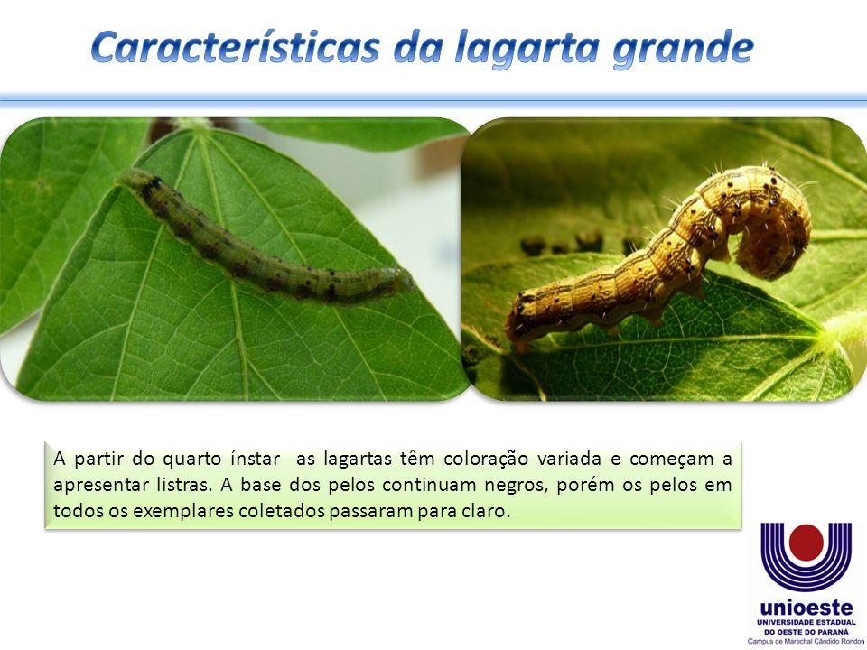 Características da lagarta grande