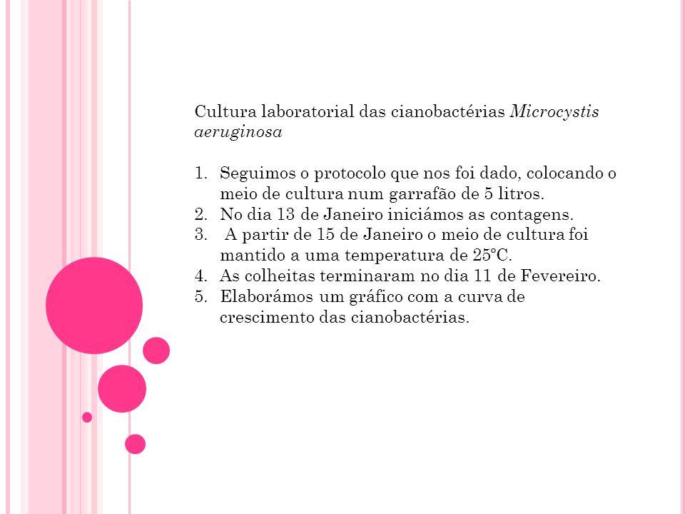 Cultura laboratorial das cianobactérias Microcystis aeruginosa