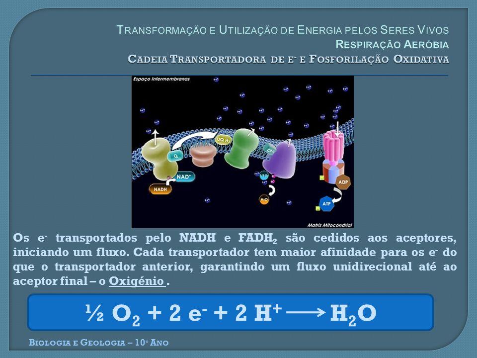 Transformação e Utilização de Energia pelos Seres Vivos Respiração Aeróbia Cadeia Transportadora de e- e Fosforilação Oxidativa