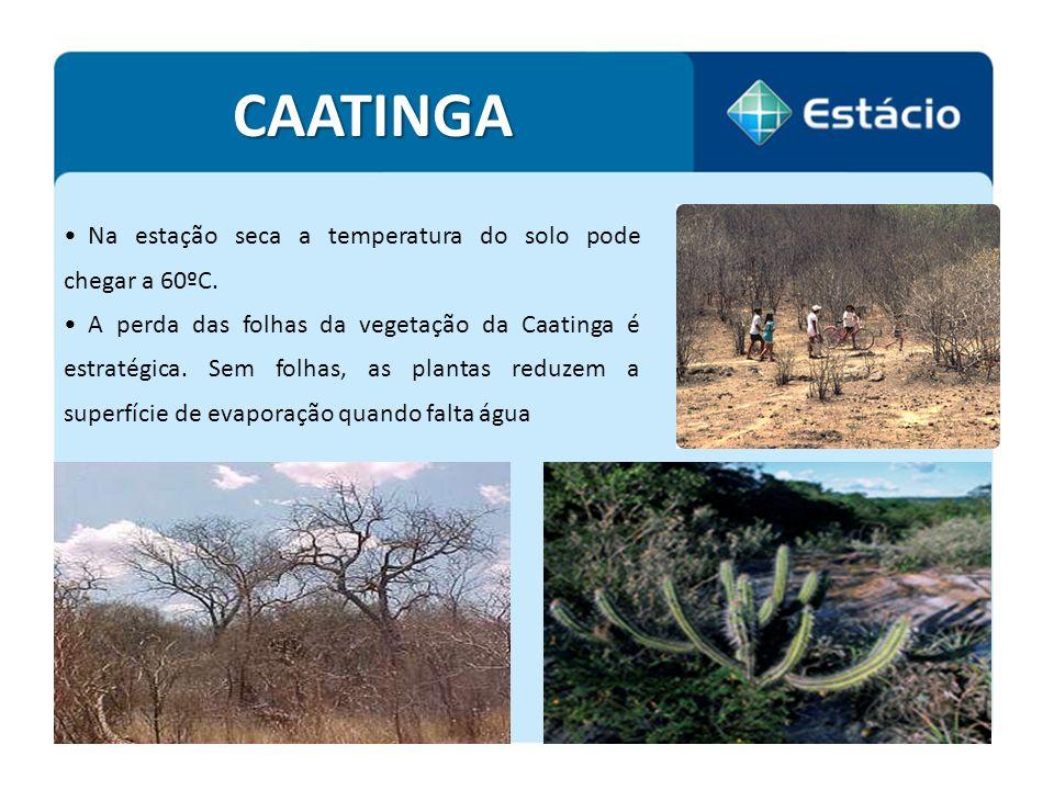CAATINGA Na estação seca a temperatura do solo pode chegar a 60ºC.