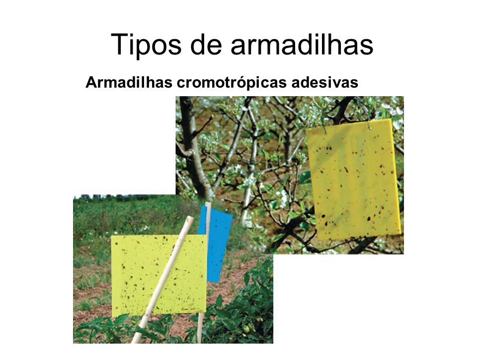 Tipos de armadilhas Armadilhas cromotrópicas adesivas