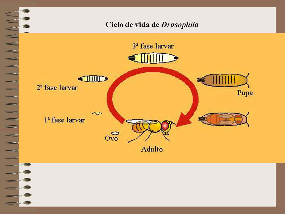 Ciclo de vida de Drosophila