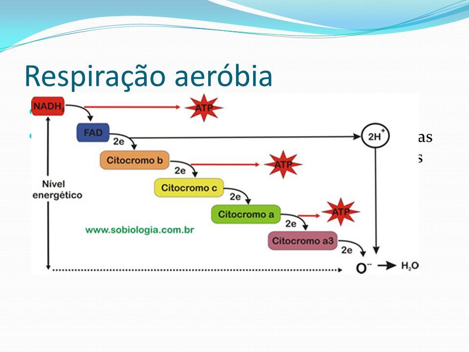 Respiração aeróbia Cadeia respiratória: