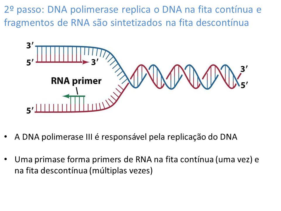 2º passo: DNA polimerase replica o DNA na fita contínua e fragmentos de RNA são sintetizados na fita descontínua