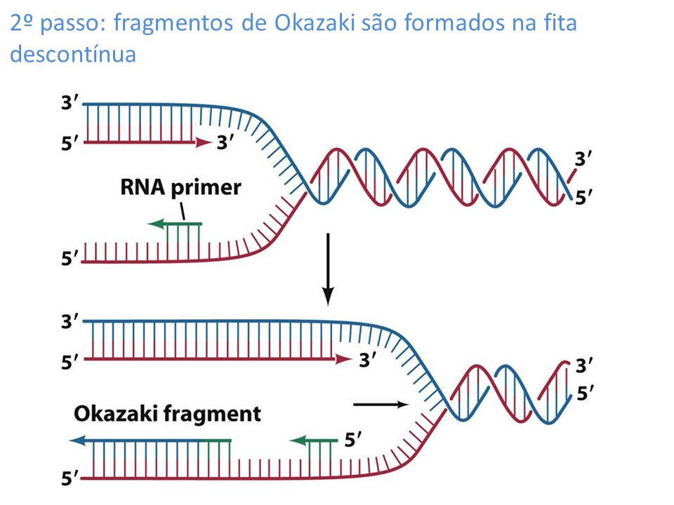 2º passo: fragmentos de Okazaki são formados na fita descontínua