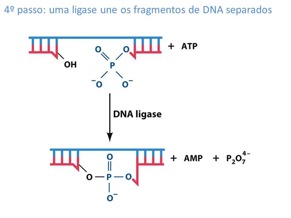 4º passo: uma ligase une os fragmentos de DNA separados