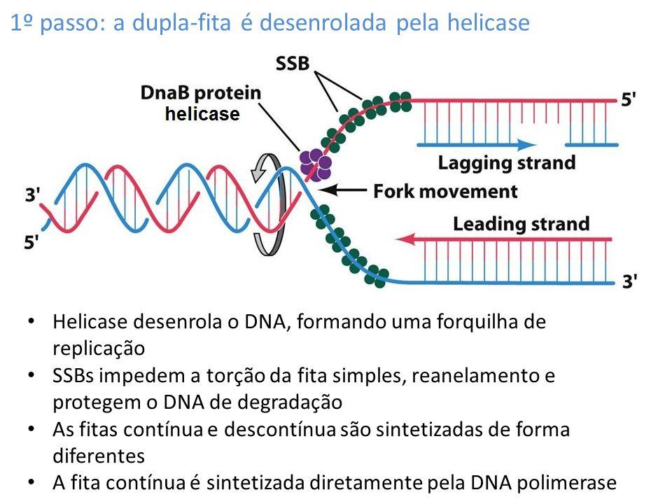 1º passo: a dupla-fita é desenrolada pela helicase