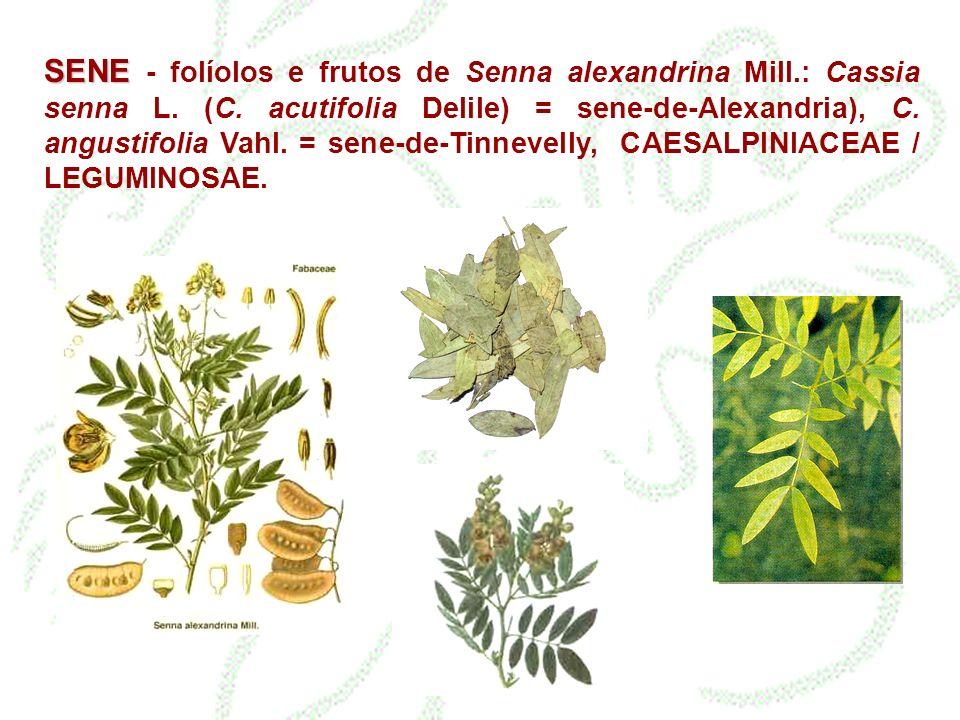 SENE - folíolos e frutos de Senna alexandrina Mill. : Cassia senna L