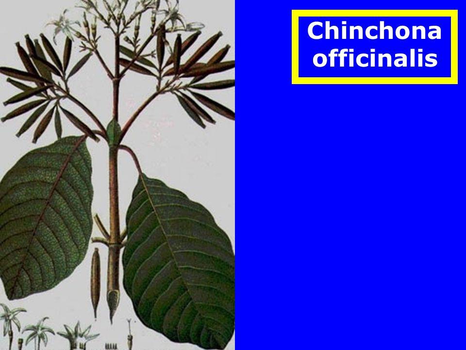 Chinchona officinalis