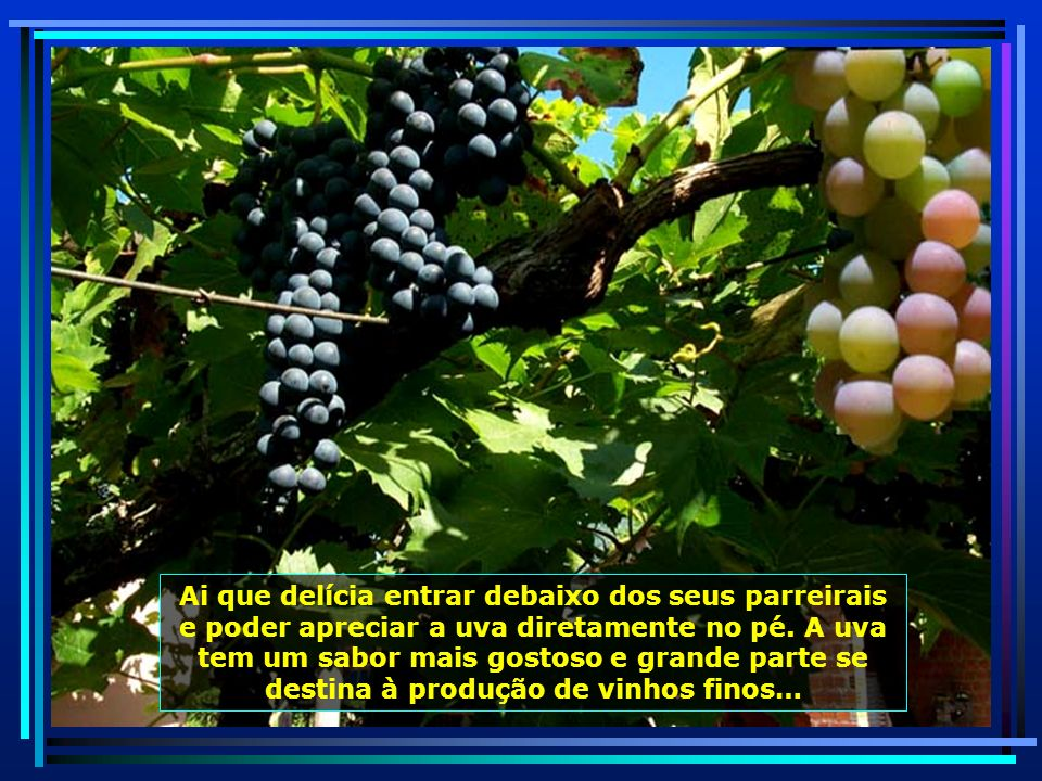 P0010841 - S. J. POLÊSINE - FAXINAL DO SOTURNO - UVAS PRETAS-ENXERTADA-650