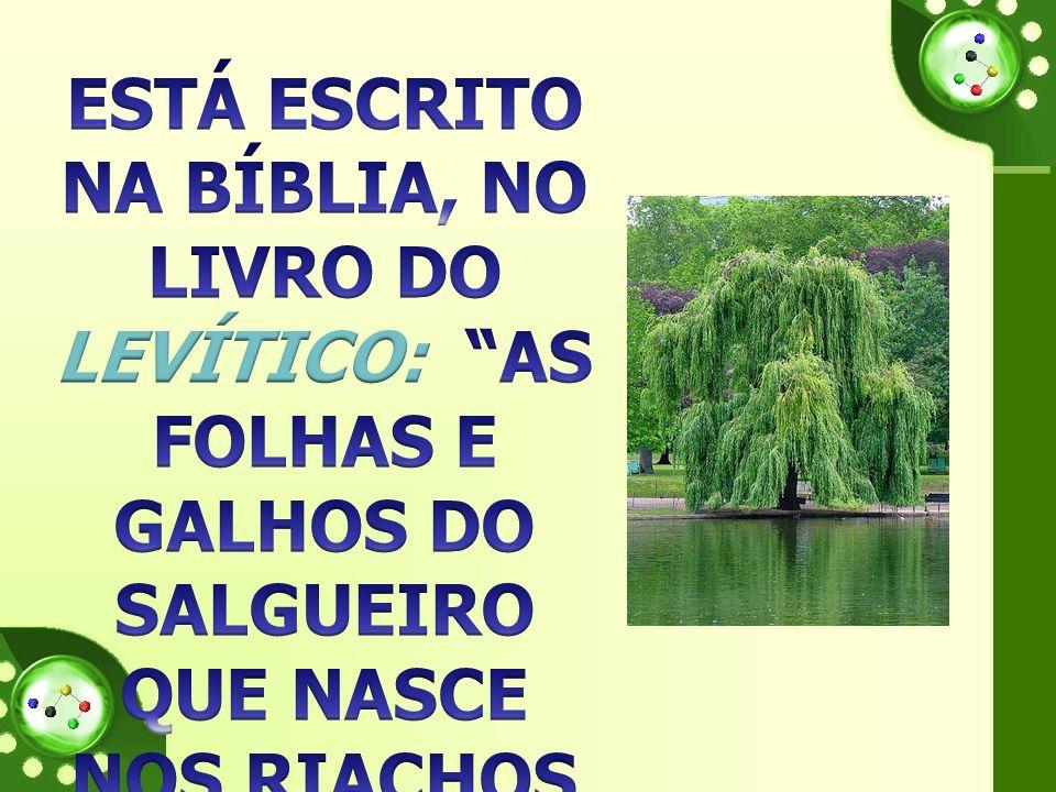 ESTÁ ESCRITO NA BÍBLIA, NO LIVRO DO LEVÍTICO: AS FOLHAS E GALHOS DO SALGUEIRO QUE NASCE NOS RIACHOS SÃO MEDICINAIS .