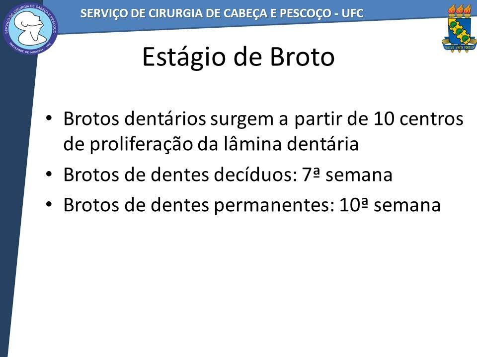 Estágio de Broto Brotos dentários surgem a partir de 10 centros de proliferação da lâmina dentária.