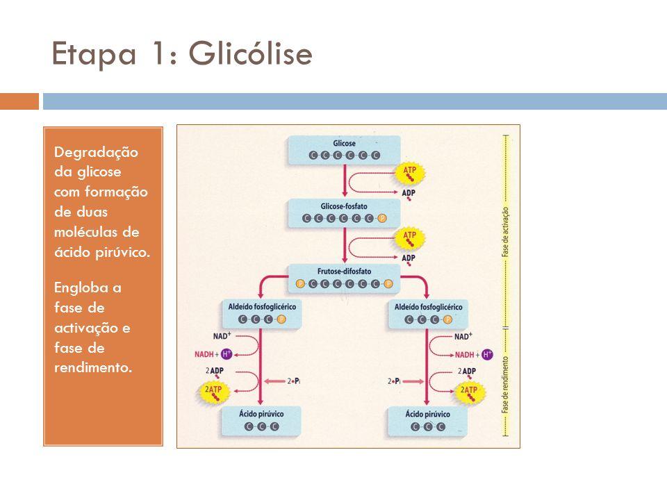 Etapa 1: Glicólise Degradação da glicose com formação de duas moléculas de ácido pirúvico.