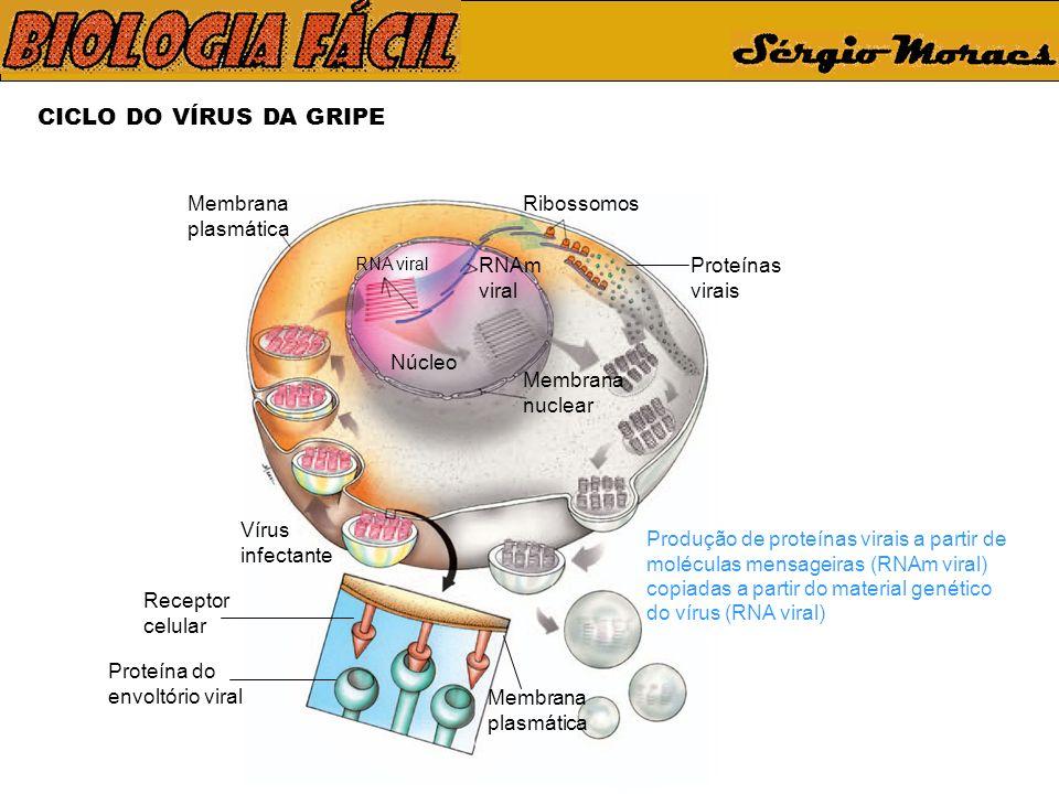 CICLO DO VÍRUS DA GRIPE Membrana plasmática Ribossomos RNAm viral