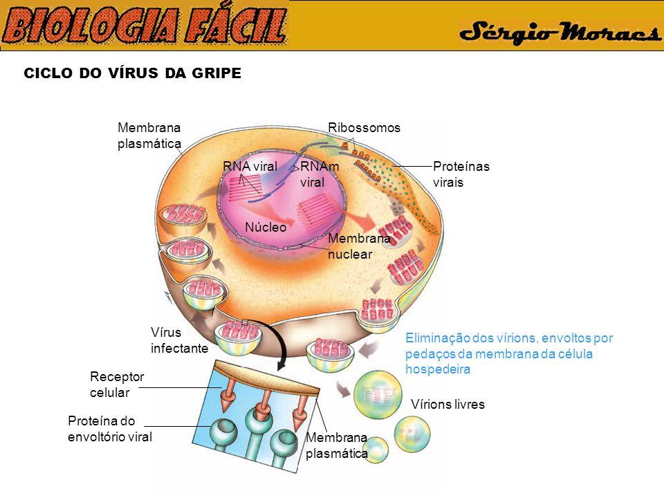 CICLO DO VÍRUS DA GRIPE Membrana plasmática Ribossomos RNA viral
