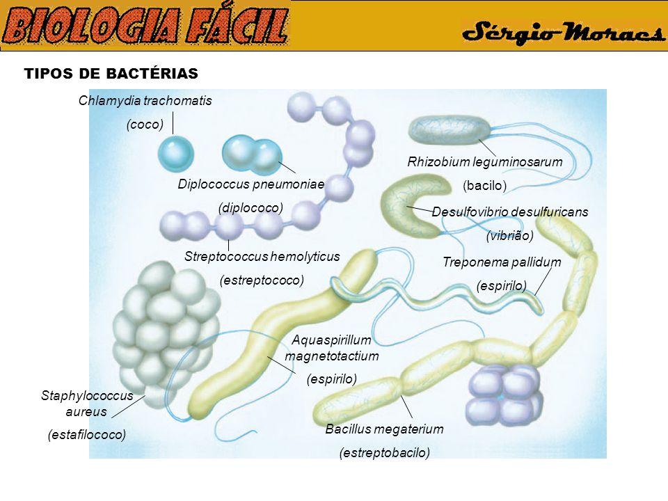 TIPOS DE BACTÉRIAS Chlamydia trachomatis (coco)