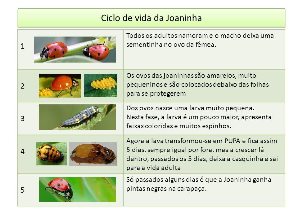 Ciclo de vida da Joaninha