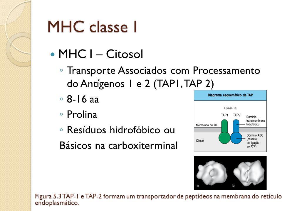 MHC classe I MHC I – Citosol