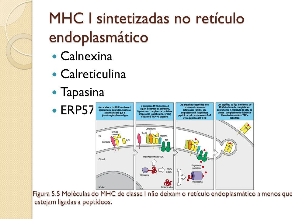 MHC I sintetizadas no retículo endoplasmático