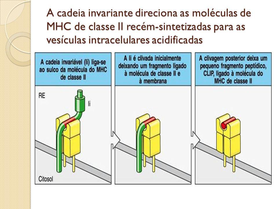 A cadeia invariante direciona as moléculas de MHC de classe II recém-sintetizadas para as vesículas intracelulares acidificadas