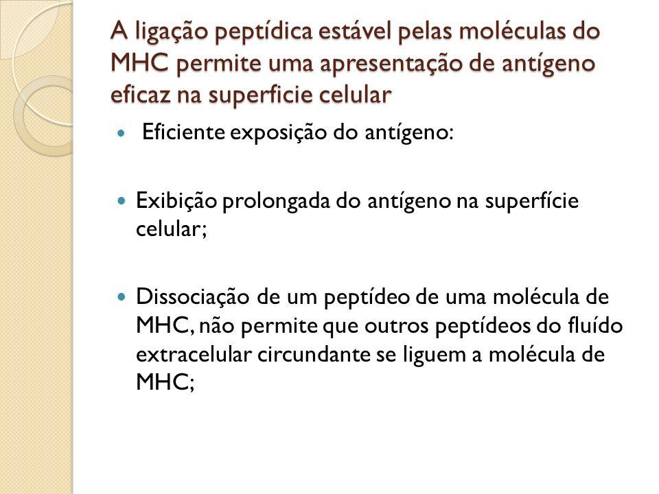 A ligação peptídica estável pelas moléculas do MHC permite uma apresentação de antígeno eficaz na superficie celular
