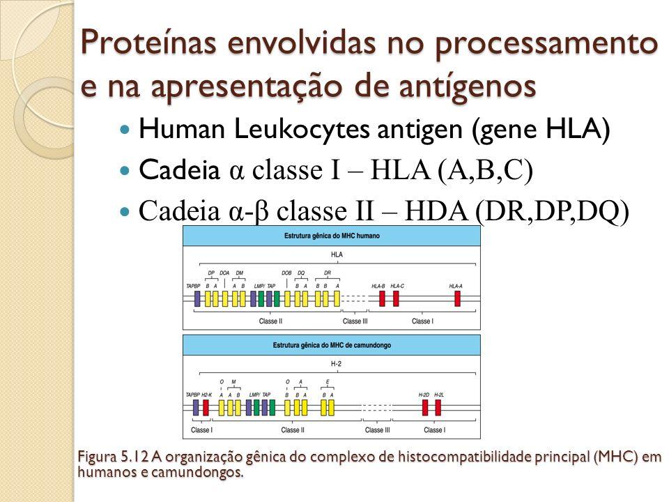 Proteínas envolvidas no processamento e na apresentação de antígenos