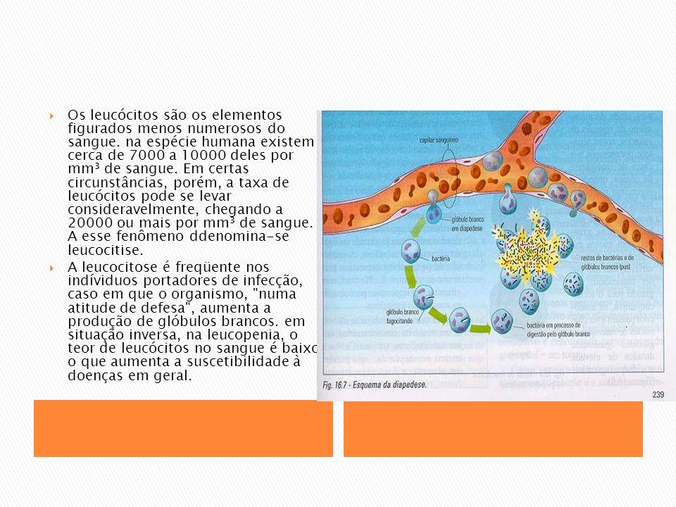 Os leucócitos são os elementos figurados menos numerosos do sangue