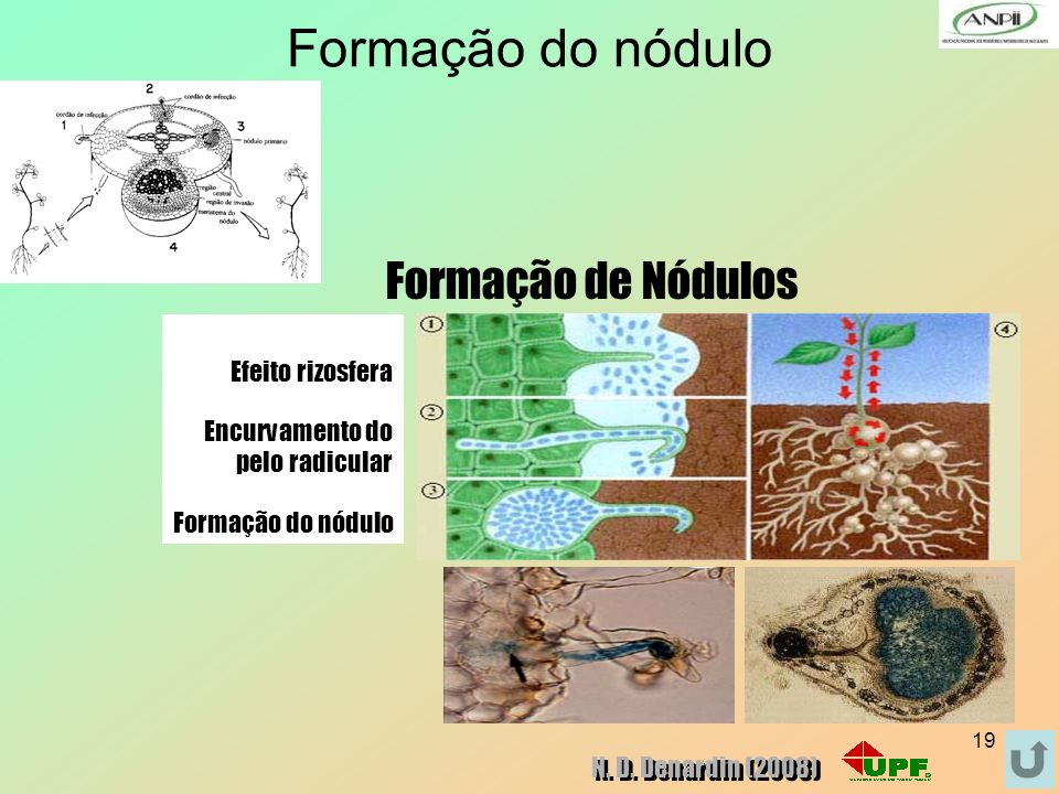 Formação do nódulo Formação de Nódulos Efeito rizosfera