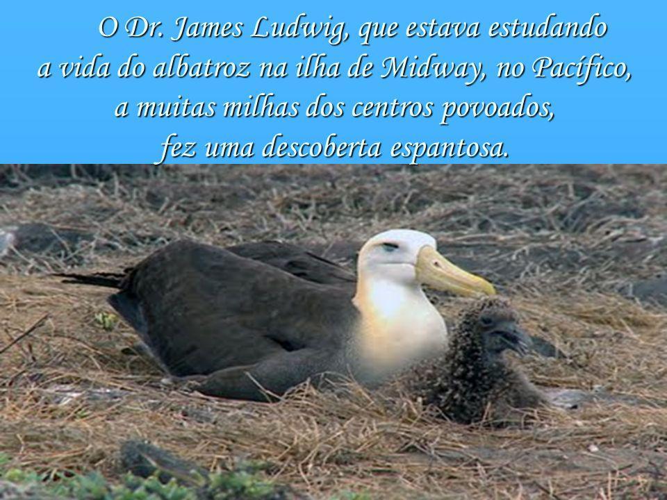 a vida do albatroz na ilha de Midway, no Pacífico,
