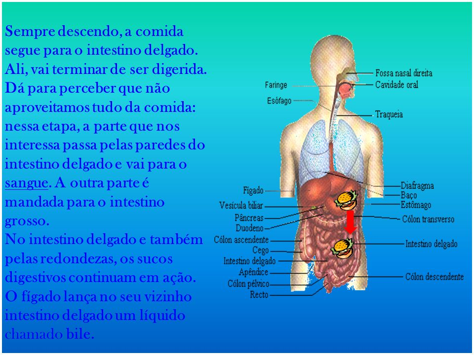 Sempre descendo, a comida segue para o intestino delgado