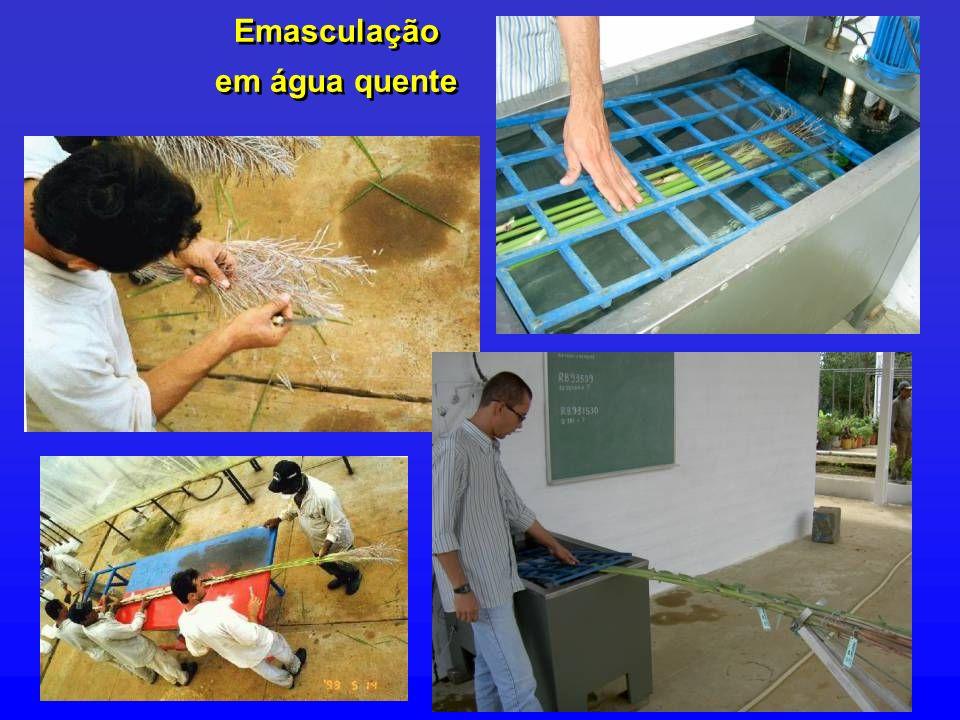 Emasculação em água quente