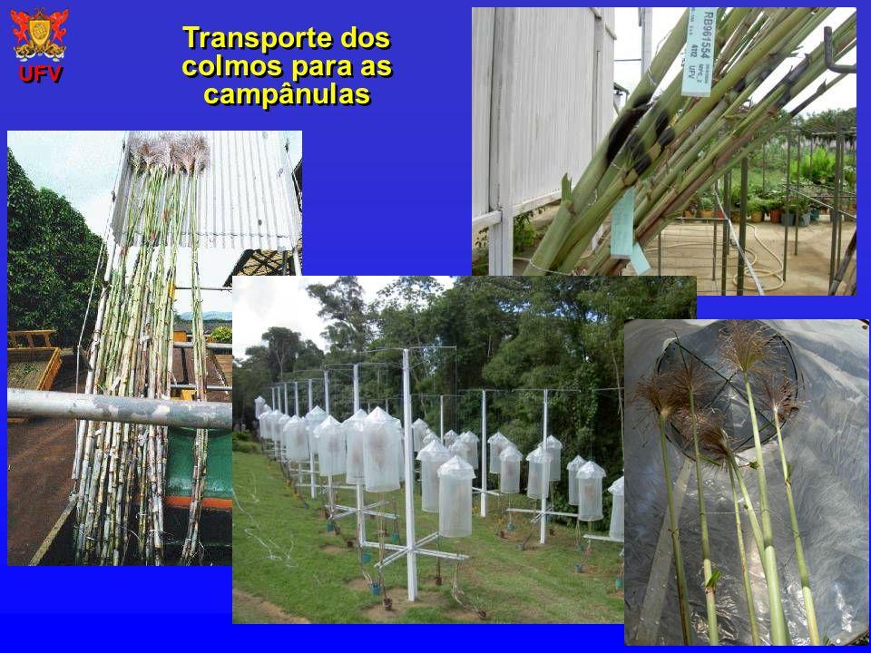 Transporte dos colmos para as campânulas