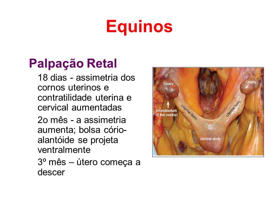 Equinos Palpação Retal
