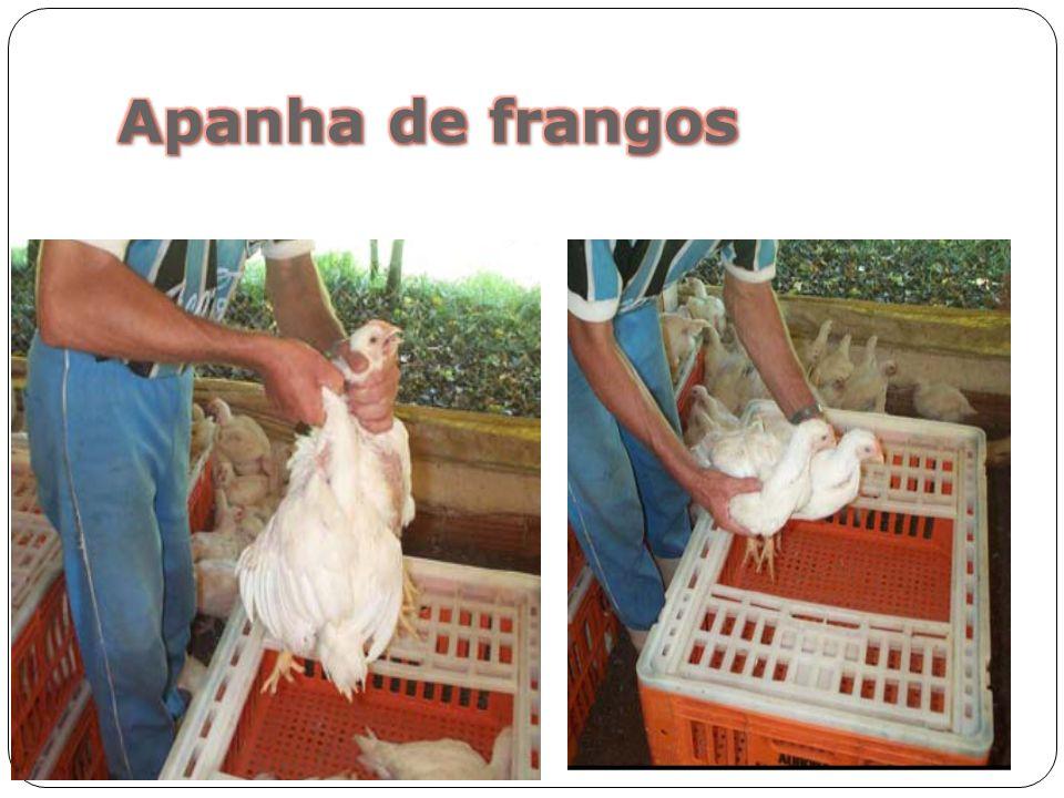 Apanha de frangos