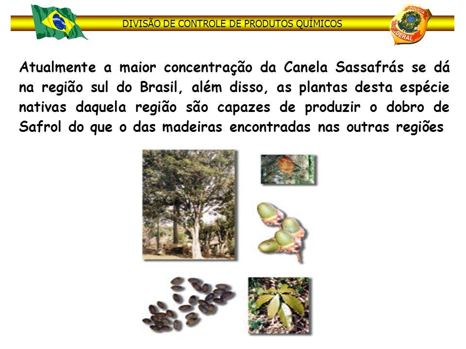 Atualmente a maior concentração da Canela Sassafrás se dá na região sul do Brasil, além disso, as plantas desta espécie nativas daquela região são capazes de produzir o dobro de Safrol do que o das madeiras encontradas nas outras regiões